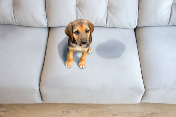 Pet stains on sofa